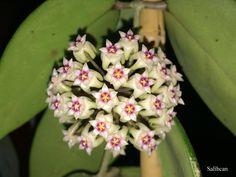 EPC-204 Hoya sp.(Tum-VNS)New clone from habitat (Sümbül Kokulu) #Hoya #Mumçiçeği