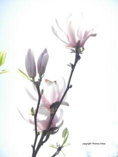 https://www.etsy.com/de/listing/231395539/fotografie-bluten-einer-magnolie-im?ref=shop_home_active_1