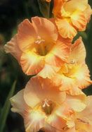 Gladiolus 'Sunbonnet Sue' (heirloom gladiolus) | From Old House Gardens
