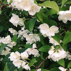 Blue jasmine #antisummer #jasmine #flowers #moscowsummer #summer #moscu #moscow #vsco #vscomsk #vscodaily #picoftheday #photooftheday #instamoscow #instamoments #instapic #instaphoto #instadaily #verano2017 #colors #vscorussia #vscocam #vscovibe misstagram.com/...
