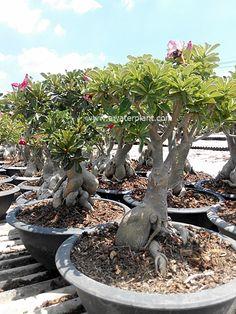 Big #Adenium desert rose from Thailand : Pot 12 inch.