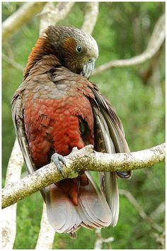 The New Zealand Kaka, also known as Kākā, (Nestor meridionalis) is a New Zealand parrot endemic to the native forests of New Zealand.