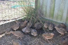 Plant grasses and low bushes in the quail pen. Quail are ground birds who like to hang out in tall grass and under scrubby bushes. They love to lay eggs in there