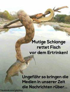 Mutige Schlange rettet Fisch vor dem Ertrinken! Ungefähr so bringen die Medien in unserer Zeit die Nachrichten rüber...