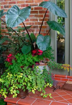 For the pots by the front door...Love the elephant ear plant.