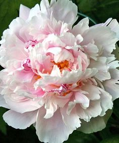 "Lady Alexander Duff peony | Peony 'Lady Alexandra Duff'. Recommended for ""southern Gardens"