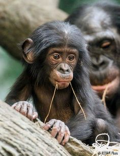 Baby Bonobo by Joe Mastrullo Rare Animals, Cute Baby Animals, Funny Animals, Strange Animals, Primates, Types Of Monkeys, Monkey World, Photo Animaliere, Cincinnati Zoo