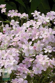 Geranium 'Melinda' (PBR), cranesbill. Throughout the summer masses of small, pale pink flowers with darker pink veins are borne on erect, branching stems over deeply lobed foliage. This is a lovely plant for the front of a border in sun or light shade, and it will help attract butterflies to the garden.