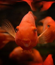 Unusual looking red parrot fish swim in a tank at the Beijing Aquarium. The aquarium is the largest in China, and houses more than 1,000 marine species and freshwater fish.
