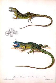 (1832-1841) - Iconografia della fauna italica2