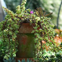 Portulacaria afra 'Variegata' - Succulents - Avant Gardens Nursery & Design