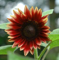 {6 Spectacular Sunflower Varieties!}