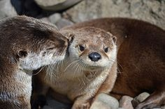 Otter nuzzles his friend - March 24, 2015