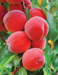 Belle of Georgia Peach Tree - FRESH SHIPMENT! Old time favorite, creamy white flesh, cling free variety that's as spicy sweet and peachy as it gets! Fruit Plants, Fruit Garden, Fruit Trees, Fruit And Veg, Fruits And Vegetables, Fresh Fruit, Beautiful Rose Flowers, Beautiful Fruits, Fruits Photos