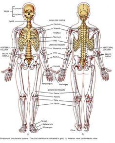 Related image medviz skeletal system pinterest related image fandeluxe Choice Image
