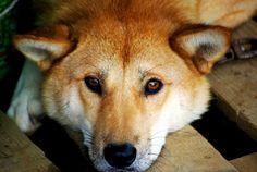 Dog breed: Jindo