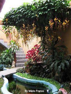 Meu cantinho verde: SAPATINHO-DE-JUDIA - ( Thunbergia Mysorensis )