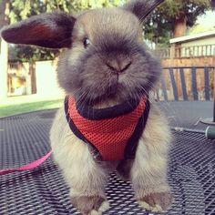 Rabbit on a leash! It's so cute I'm gonna dieeeeee!!!!