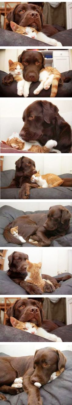 Lab and ginger cat love ☺ | follow @sophieeleana
