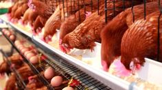 More Proof: Arsenic in Chicken Feed Equals Arsenic in Chicken Meat - TheSleuthJournal