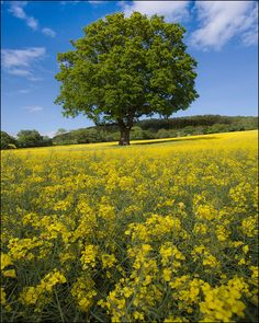 Field of Rapeseed Flowers in Wales