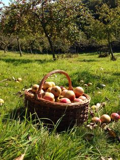 Apple picking time in the Cornish orchards of Karensa Aval; www.applevalley.co.uk