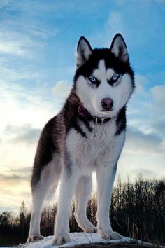 Exactly what I think my Husky its gonna look like