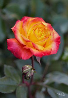 Nevena Uzurov - October rose | Flickr - Photo Sharing!