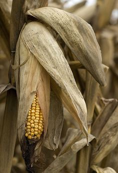 ✿campestre - field corn at end of season