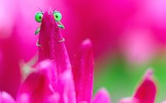 You cant see me! A green-eyed bug peeks out from behind pink flower petals in Negresti Oas, Romania (Remus Tiply)