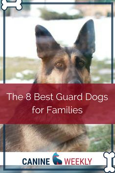 Best Family Guard Dog: 8 Good Protecton Dogs for Families Best Guard Dogs, Best Dogs, Beauceron Dog, Gaurd Dogs, Protective Dogs, Children And Family, German Shepherds, Friends Family