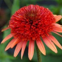 A double-flowered Coneflower, this has bicolor flowers with orange to salmon-coral daisy petals surrounding a rusty coral-red pompom. Plant habit is well-branched, strong and bushy. Ideal for sunny borders and grow. Plants, Flowers Nature, Shrubs, Flowers, Flower Garden, Planting Bulbs, Flower Garden Design, Garden Design, Echinacea