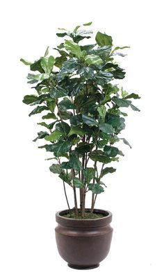 Fiddleleaf Tree, shown in container option A, Potter's Jar Old Iron, 36wx6'h T06-6