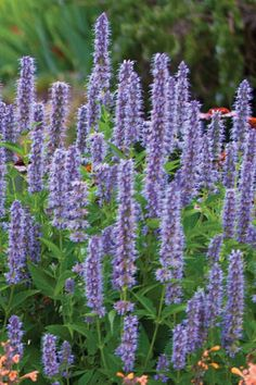 Anise Hyssop Purple- PAGB photo
