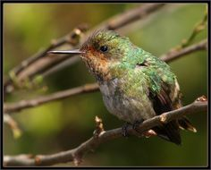 Luis A. Florit Photo Gallery: topetinho-vermelho - Frilled Coquette (Trochilidae: Lophornis magnificus)