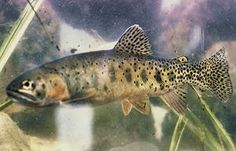 The Rio Grande Cutthroat Trout is the state fish of New Mexico. It was adopted by New Mexico in 2005.