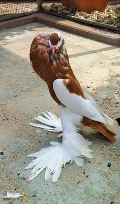 Kfc Chicken Genetically Modified