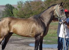 In 1995 a breeding program began in Idaho that used the old Appaloosa horses and crossed them the the Akhal-Teke in the hopes of re-establis...