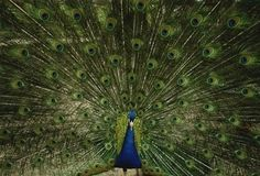 Peacock - National Geographic Photo (6901749) - Fanpop   I have only seen this once in my life.