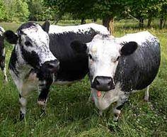 Randall Linebacks - rare breed - Vermont