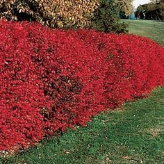 In spring and summer, it's a beautiful dark green. In fall, the foliage turns a fiery red and red berries appear. In winter, its winged bark adds interest. Space 3-4' apart. Not available in  MA and NH.