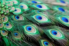 images of peacock feathers - Google Search