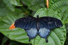 Mariposa, Papilionidae, Insectos