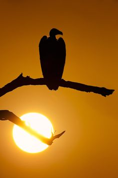 A Cape Vulture (Gyps coprotheres) silhouetted at sunset in Kruger National Park, South Africa.