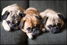 love the sad faces (pugs always look sad, even when they are happy!!), and LOVE the apricot pug in the middle