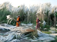 Raccolta del kash » Fotografia di Biswajit Patra, Your Shot