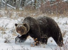 With the grizzly bear population threatened in Alberta, it's been great to see at least three grizzly sows in the Rockies with new cubs this year. Description from owenslaterphotography.com. I searched for this on bing.com/images