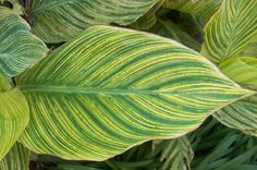 The 2 Minute Gardener is a great photo blog with over 600 photos to inspire you.  Here is a photo of a Variegated Canna Lily leaf.