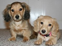 We are breeders of miniature long haired dachshunds specializing in English Cream puppies with excellent pedigrees. Long Haired Dachshund, Mini Dachshund, Dachshund Puppies, Weenie Dogs, Chihuahua, Daschund, Puppies And Kitties, Cute Puppies, Cute Dogs