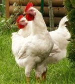 """I think Peck & Kick are Leghorns  (Seasoned pros know that Leghorn is pronounced """"Leggern"""".) The White is separate from the rest because they lay large, white eggs practically every day! Other varieties aren't nearly so prolific."""